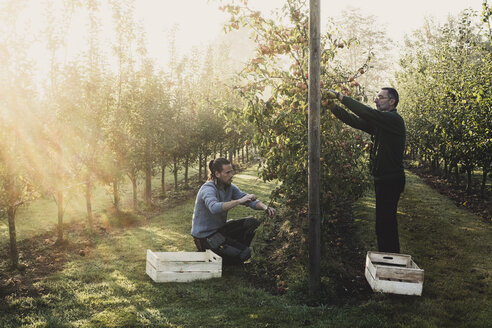 Two men in apple orchard, picking apples from tree. Apple harvest in autumn. - MINF10343