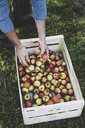 High angle close up of red and green apples in crate. Apple harvest in autumn. - MINF10346