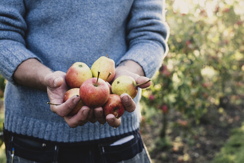 Close up of man standing in apple orchard, holding freshly picked apples. Apple harvest in autumn. - MINF10349
