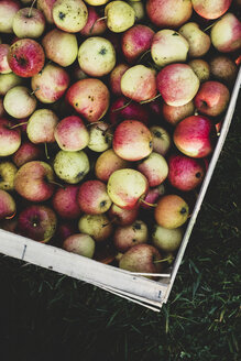 High angle close up of red and green apples in crate. Apple harvest in autumn. - MINF10355