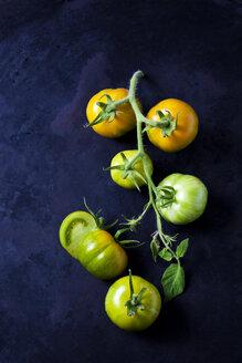 Green Zebra Tomate (Solanum lycopersicum), Grüne Zebra, gelbgrün, gestreift, dunkler Untergrund,  Rispe, dunkler Untergrund, - CSF29264