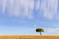 Spain, Province of Zamora, field landscape with single pine - DSGF01799