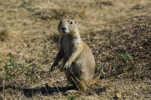 USA, Wyoming, portrait of a Wyoming ground squirrel - RUNF01052