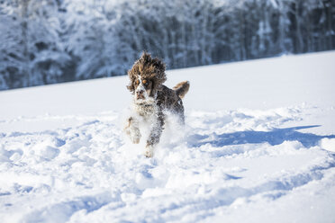 English Springer Spaniel running on snow-covered meadow - MAEF12787