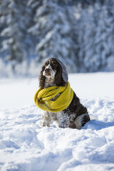 English Springer Spaniel wearing woolly hat and yellow scarf sitting on snow-covered meadow - MAEF12790