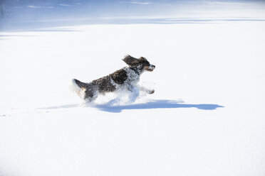 English Springer Spaniel running on snow-covered meadow - MAEF12793