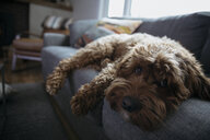 Portrait cute, tired dog laying on sofa - HEROF16083