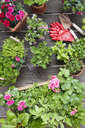Planting herbs and flowers for indoor farming on a balcony - GWF05862