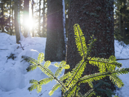 Germany, Upper Bavarian Forest Nature Park, growing fir branch at winter forest - HUSF00007