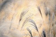 Reeds - DSGF01808