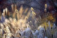 Reeds - DSGF01811