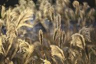 Reeds - DSGF01814