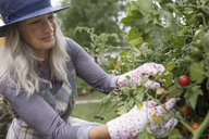 Senior woman gardening, harvesting tomatoes in garden - HEROF20121