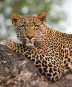A leopard's upper body, Panthera pardus, lying on tree branch, alert, green yellow eyes - MINF10392