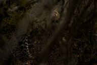 A leopard, Panthera pardus, walks through the bush, looking away, sunlight on eye, branches in foreground - MINF10395