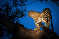 A leopard, Panthera pardus, stands on a tree branch, looking away over shoulder, at dusk lit up by spotlight - MINF10401