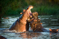 Two hippopotamus, Hippopotamus amphibius, fight in the water, open mouths showing teeth - MINF10404