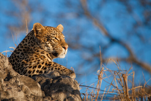 A leopard's head, Panthera pardus, lying on termite mound, looking away, blue sky background - MINF10410