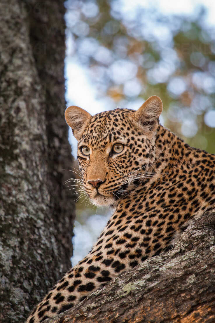 A leopard's head, Panthera pardus, lying in a tree, looking away - MINF10413 - Londolozi Images/Mint Images/Westend61