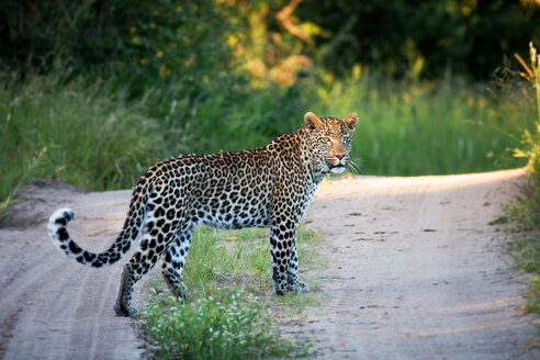 A leopard, Panthera pardus, stands on a sand road, alert, tail curled up, face in sunlight, greenery background - MINF10416