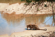 A leopard, Panthera pardus, lies on sand and laps at water from a river, back to camera, ripples in water - MINF10419