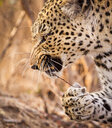 A leopard's head and front paw, Panthera pardus, snarling, stick with thorns in mouth, paw holding onto stick, looking away - MINF10422