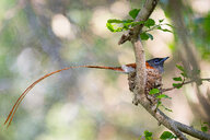 A African paradise flycatcher, Terpsiphone viridis, sits in a nest in a tree, its long tail hangs out of the nest - MINF10425