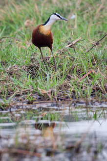 A African jacana, Actophilornis africana, stands at the edge of the water in green grass, looking away - MINF10428