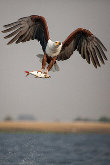 An African fish eagle, Haliaeetus Vocifer, flies over water, claws holding onto a fish, splashes of water in air - MINF10431