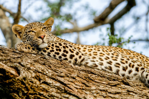 A leopard, Panthera pardus, lies on a tree, rests head on leg, alert, yellow eyes - MINF10434