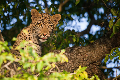 A leopard cub's head, Panthera pardus, sitting in a tree, alert, tongue out, leaves in foreground - MINF10437