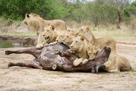 A pride of lions, Panthera leo, lie over a buffalo carcass, Syncerus caffer, looking away, biting neck of bloated buffalo - MINF10455
