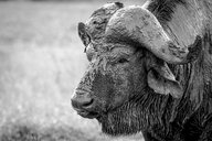 The head of a buffalo, Syncerus caffer, head covered in mud, wet fur, looking away, in black and white - MINF10467