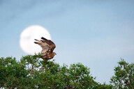 A brown snake eagle, Circaetus cinereus, stands at the crown of a tree, wings up about to fly, full moon in background, yellow eyes - MINF10473