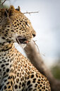 A side profile of a leopard's head, Panthera pardus, looking away, mouth open, thorny branch in foreground - MINF10494
