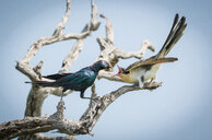 A Burchell's starling, Lamprotornis australis, perches on a branch and feeds a grasshopper to a Great Spotted Cuckoo chick, Clamator glandarius - MINF10503