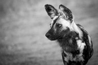 The head of a wild dog, Lycaon pictus, looking away, black and white - MINF10506