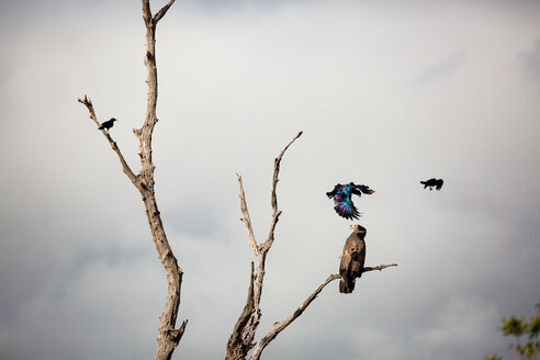 An African harrier-hawk, Polyboroides typus, perched in a dead tree, two  Burchell's starling, Lamprotornis australis, attack the hawk. - MINF10527