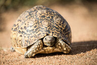 A leopard tortoise, Stigmochelys pardalis, stands on sand, alert, head out of shell. - MINF10539