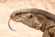 Rock monitor lizard's head, Varanus albigularis, tongue out, sand background - MINF10563