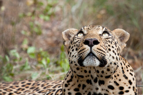 A leopard's head, Panthera pardus, looking up out of frame, yellow eyes, greenery in the background - MINF10566