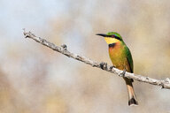 A little bee-eater, Merops pusillus, perches on a bare branch, looking away - MINF10569