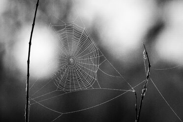 A spider's web in the sunlight with water droplets on in black and white - MINF10572
