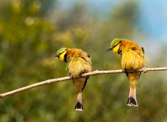 Two little bee-eaters, Merops pusillus, perch on a thin branch, both lean left, puffed up feathers - MINF10575