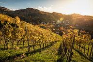 Vineyard near Sasbachwalden, black forest, Baden-Wurttemberg, Germany - CUF48793
