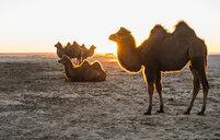 Bactrian camels resting, Gobi desert, Mongolia - CUF48880