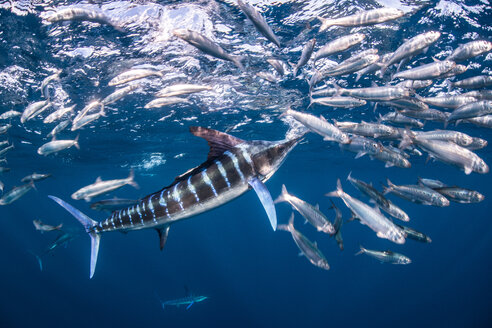 Striped marlin hunting mackerel and sardines - CUF49180