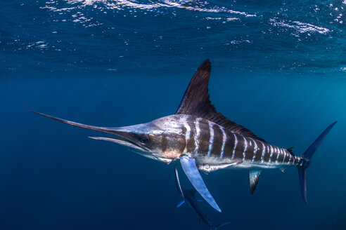 Striped marlin hunting mackerel and sardines - CUF49183