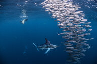 Striped marlin hunting mackerel and sardines, joined by sea lion - CUF49186