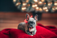 Young French Bulldog on cushion wearing red bow for Christmas - ISF20600